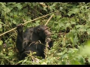 Macacos fazem lanças 05